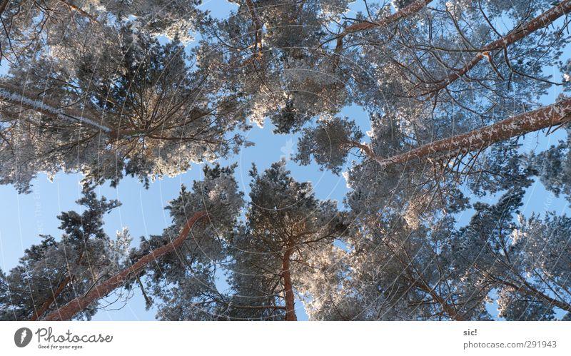 Baumkronen Himmel Natur blau Ferien & Urlaub & Reisen weiß Winter Wald Umwelt kalt Schnee Freiheit braun Eis Kraft Klima