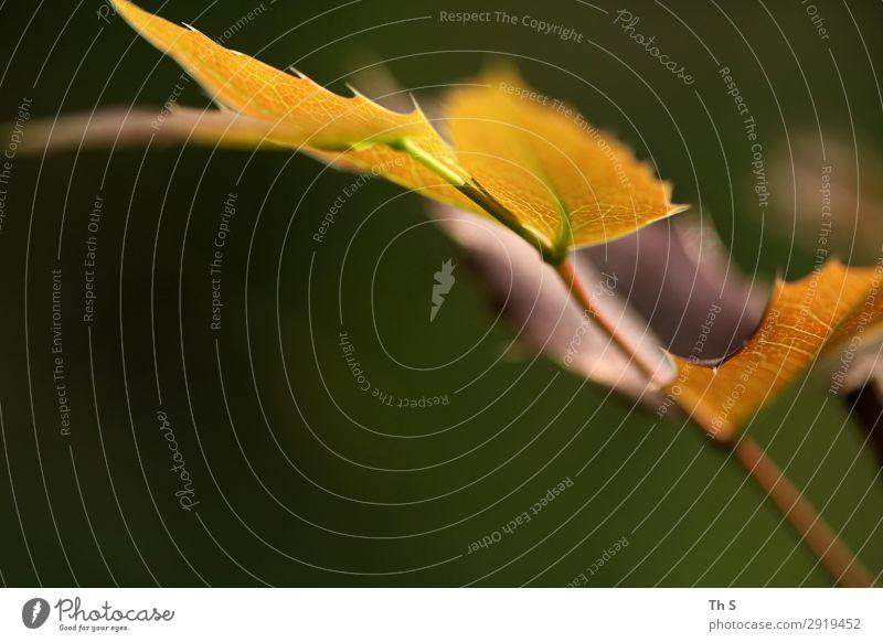 Blatt Natur Pflanze Frühling Herbst Blühend verblüht ästhetisch authentisch einfach elegant natürlich braun gelb grün Gelassenheit geduldig ruhig einzigartig