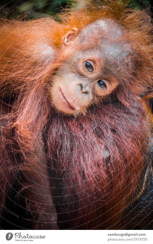 Der süßeste Baby-Orang-Utan der Welt kuschelt sich mit seiner Mutter in Borneo. Ferien & Urlaub & Reisen Kind Erwachsene Kindheit Natur Tier Baum Park Wald
