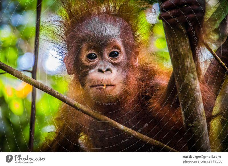 Der süßeste Baby-Orang-Utan der Welt schaut in die Kamera auf Borneo. Ferien & Urlaub & Reisen Kind Kindheit Natur Tier Baum Park Wald Urwald Pelzmantel