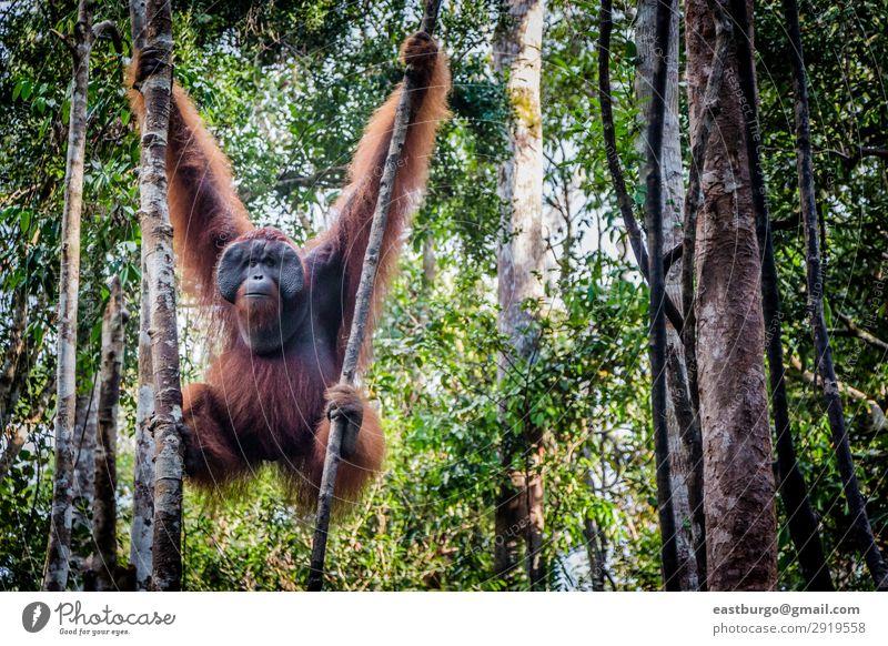 Ein männlicher Orang-Utan liegt in einem Baum. Insel Mann Erwachsene Natur Tier Park Wald Urwald schaukeln wild rot Menschenaffen Asien Borneo Erhaltung