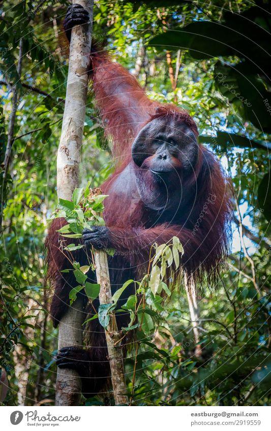 Ein magischer männlicher Orang-Utan, der in einem Baum hängt, schaut auf die Linse. Insel Mann Erwachsene Natur Tier Park Wald Urwald schaukeln wild rot