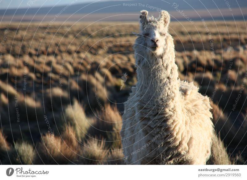 Ein Lama schaut in die Linse im Altiplano in Bolivien. schön Ferien & Urlaub & Reisen Tourismus Berge u. Gebirge Natur Landschaft Tier Wiese Pelzmantel Fressen