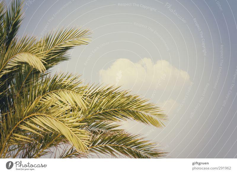 sommer Himmel blau grün Pflanze Sommer Baum Blatt Wolken Wärme hell Ast Palme Süden Zweige u. Äste Pflanzenteile