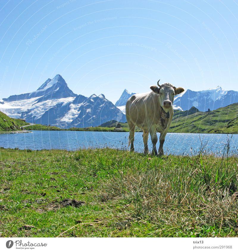 Einhorn Tier Nutztier Kuh 1 Wasser grün Grindelwald Bachalpsee Schreckhorn Wiese Himmel Horn Berge u. Gebirge Farbfoto Außenaufnahme Menschenleer Tag Licht