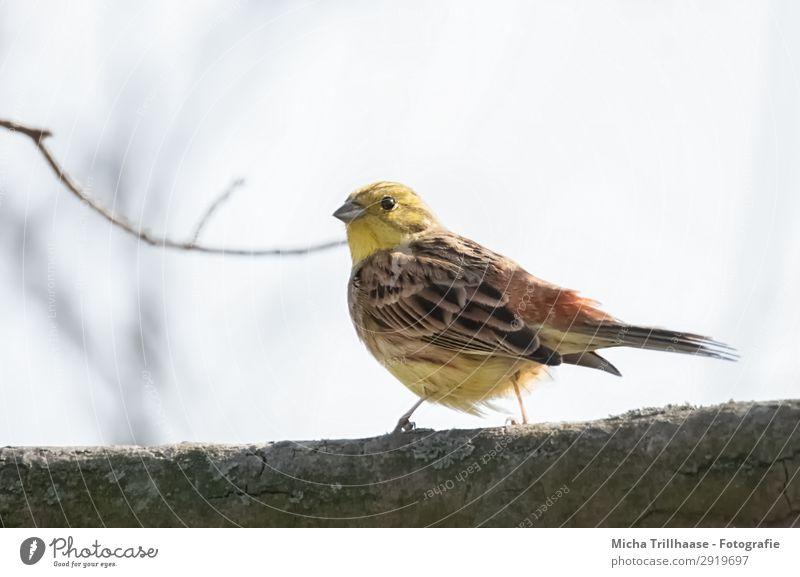 Goldammer im Baum Himmel Natur blau grün Tier schwarz gelb Auge natürlich orange Vogel leuchten gold Wildtier stehen