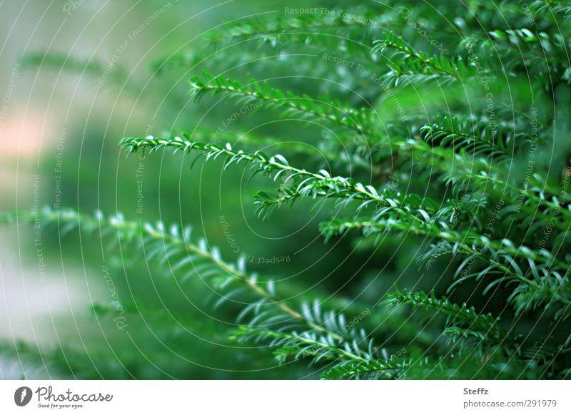 Das Grünzeug Umwelt Natur Pflanze Frühling Grünpflanze Nadelbaum Tannennadel Tannenzweig Zweig Sträucher Nadelwald Wachstum Duft natürlich schön grün