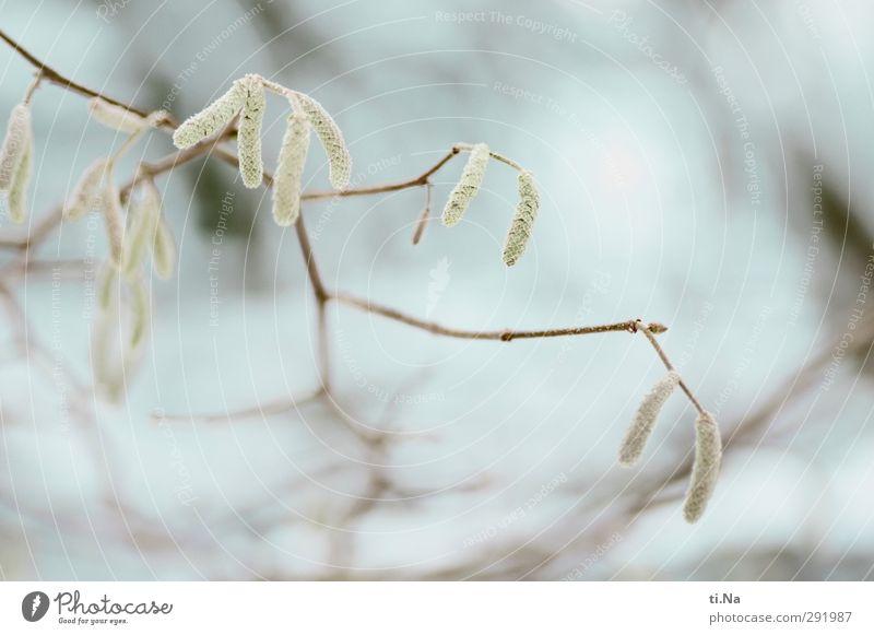 Aschenbrödel Winter Schönes Wetter Eis Frost Baum Sträucher Wildpflanze Garten Wald Blühend frieren hängen Wachstum schön kalt klein Stadt blau braun gelb