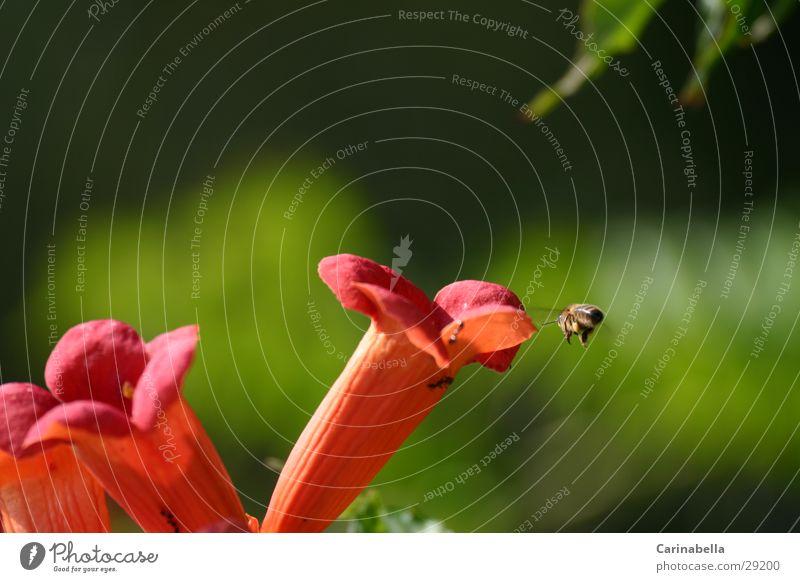 Anflug grün Pflanze rot Blüte fliegen Biene