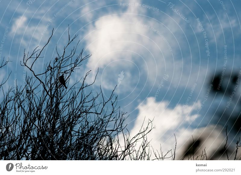 Im Busch sitzen Umwelt Natur Pflanze Tier Himmel Wolken Herbst Schönes Wetter Baum Sträucher Zweig Ast Wildtier Vogel 1 blau schwarz Einsamkeit kahl Geäst