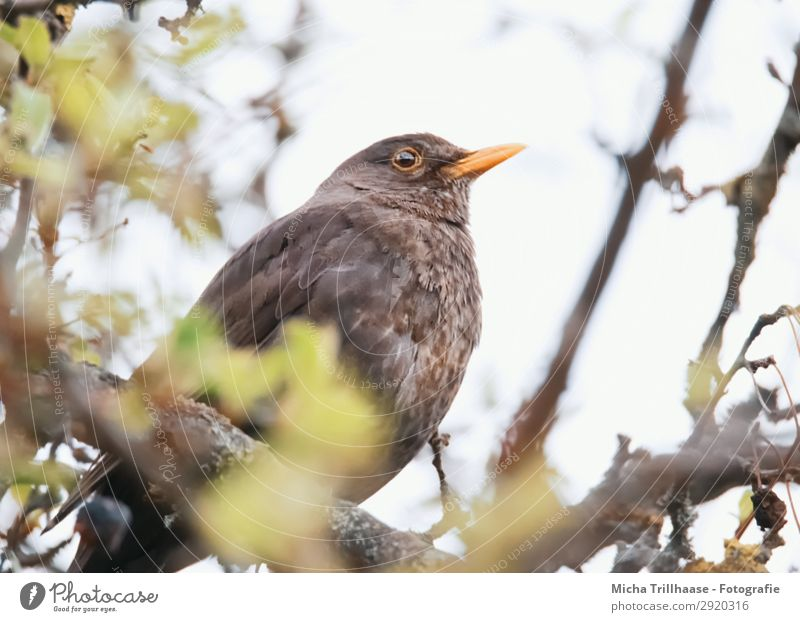 Amsel im Baum Natur Tier Himmel Sonnenlicht Schönes Wetter Blatt Zweige u. Äste Wildtier Vogel Tiergesicht Flügel Schnabel Auge Feder gefiedert 1 beobachten