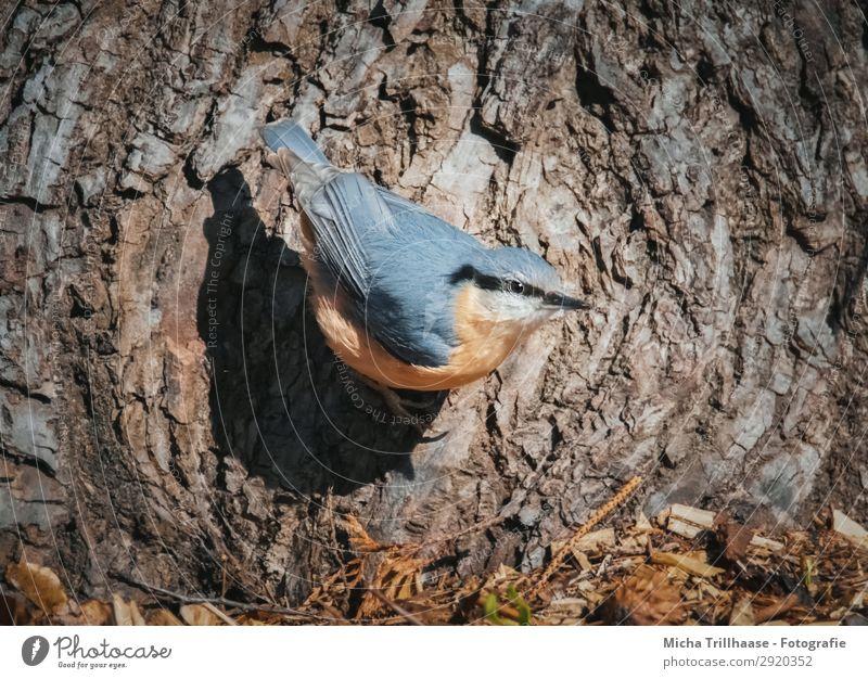 Kleiber am Baumstamm Natur blau Tier schwarz gelb Auge natürlich orange Vogel braun Wildtier Feder Schönes Wetter Flügel beobachten