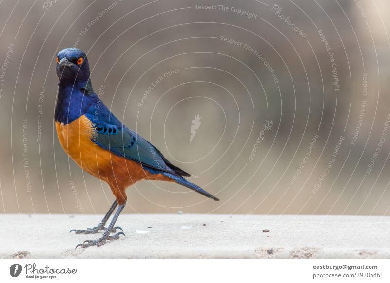 Ein farbenfroher Superb Star in Tansania schön Ferien & Urlaub & Reisen Abenteuer Safari Umwelt Natur Tier Baum Gras Park Wildtier Vogel hell wild blau gelb