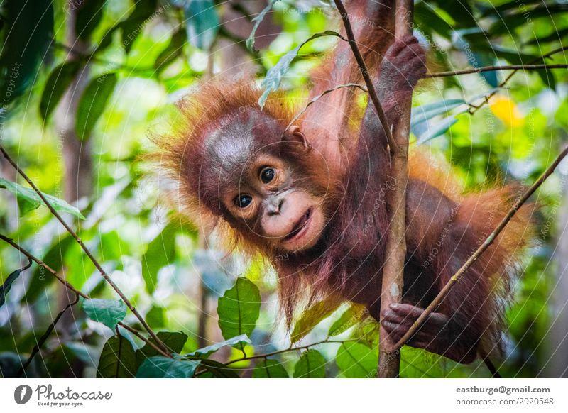 Der süßeste Baby-Orang-Utan der Welt hängt in einem Baum. Ferien & Urlaub & Reisen Kind Kindheit Natur Tier Park Wald Urwald Pelzmantel Tierjunges