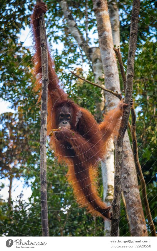 Ein Oragutan isst Bananen in einem Baum auf Borneo. Insel Natur Tier Regen Park Wald Urwald schaukeln wild rot Tiere Menschenaffen Asien Erhaltung Ökotourismus