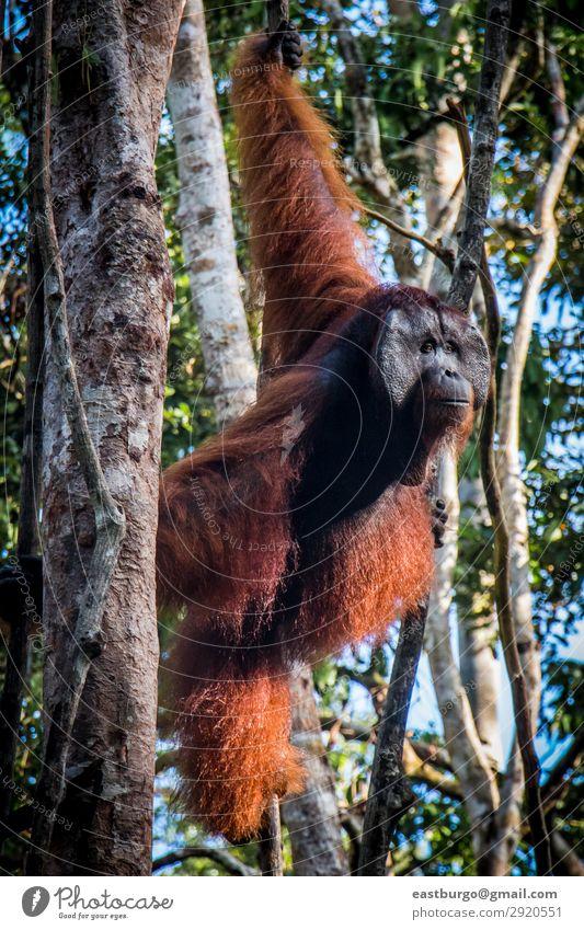 Ein männlicher Orang-Utan, der in einem Baum Wache steht. Insel Mann Erwachsene Natur Tier Regen Park Wald Urwald schaukeln wild rot Tiere Menschenaffen Asien