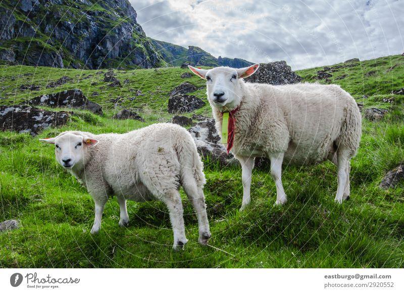 Zwei Schafe starren in die Kamera auf der Insel Lofoton in Norwegen. schön Ferien & Urlaub & Reisen Tourismus Meer Berge u. Gebirge Natur Landschaft Tier Himmel