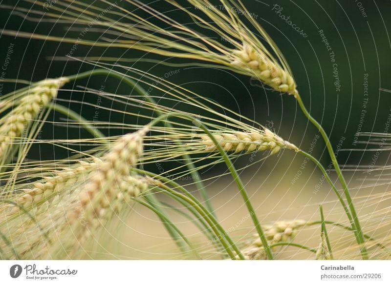 Gerste II Pflanze Feld Getreide Ähren Gerste