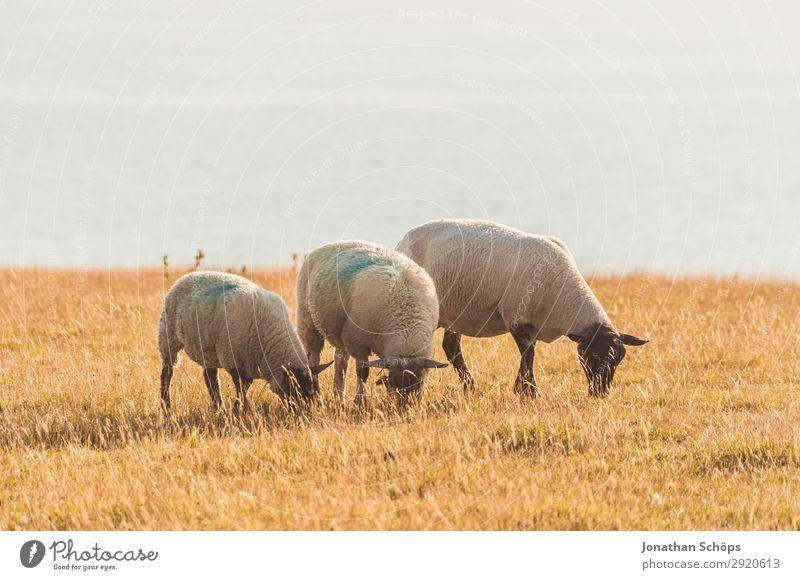 Drei Schafe fressend auf dem Feld Himmel Natur Tier Ferne natürlich Wiese Freiheit Aussicht ästhetisch Landwirtschaft Bauernhof Weide Fell Säugetier