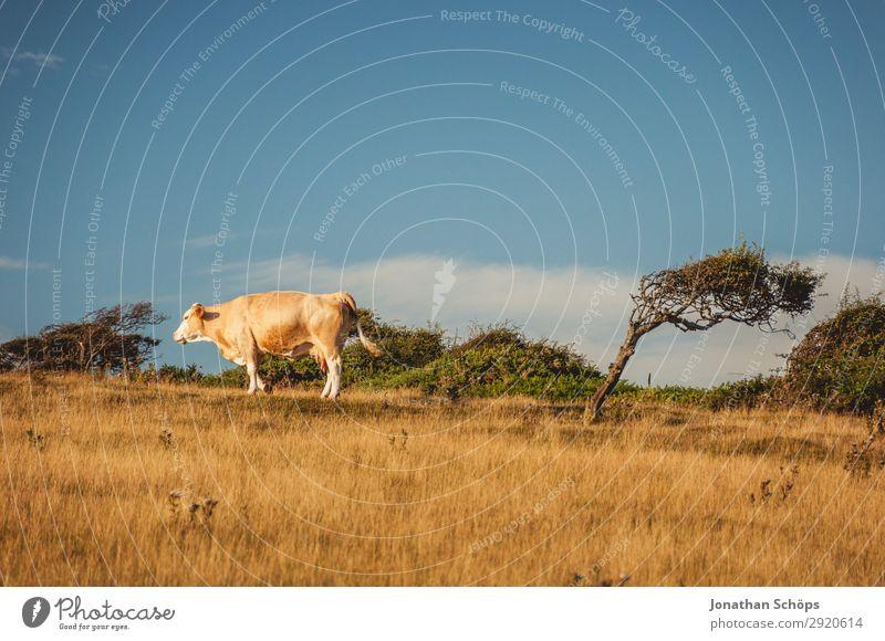 Heftigste Winde – Baum hinter Kuh auf dem Feld Natur Sommer Landschaft Tier Umwelt Küste außergewöhnlich verrückt Landwirtschaft Ackerbau ökologisch Klimawandel