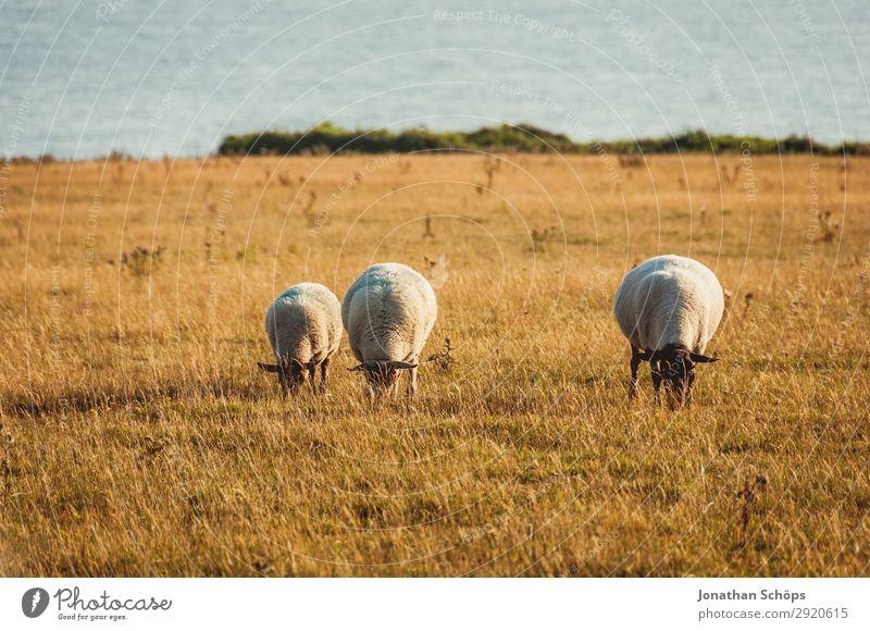 Drei Schafe fressend auf dem Feld Landwirtschaft Tier Nutztier England Großbritannien Sussex Wiese Weide Nahrungssuche Bauernhof Natur natürlich Abendsonne