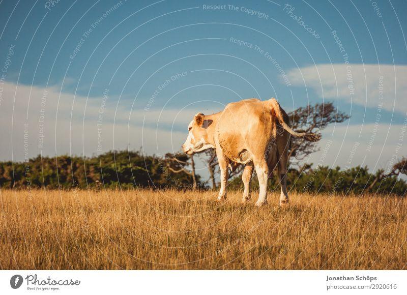 Kuh auf dem Feld in England Natur Sommer Landschaft Baum Tier Umwelt Küste außergewöhnlich Landwirtschaft Ackerbau ökologisch Klimawandel Forstwirtschaft