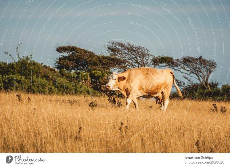 Kuh auf dem Feld in England Natur Sommer Landschaft Baum Tier Umwelt Küste außergewöhnlich Wind Landwirtschaft Ackerbau ökologisch Klimawandel Forstwirtschaft