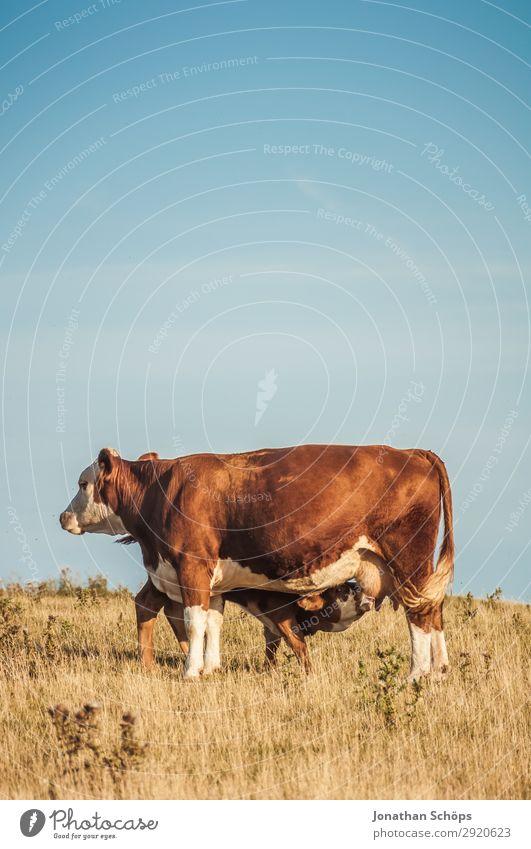 Kalb trinkt bei Kuh auf dem Feld Landwirtschaft Umwelt Natur Landschaft Tier Sommer Klimawandel außergewöhnlich Großbritannien Rind Tierzucht Viehzucht Baum