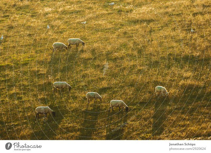 Schafherde in der Abendsonne auf dem Feld Landwirtschaft Tier Nutztier England Großbritannien Sussex Wiese Weide Nahrungssuche Bauernhof Natur natürlich