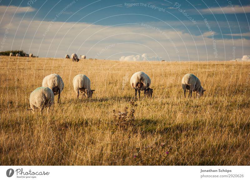 Schafherde auf dem Feld Landwirtschaft Tier Nutztier ästhetisch England Großbritannien Sussex Wiese Weide rückwärts hinten Nahrungssuche Bauernhof Natur