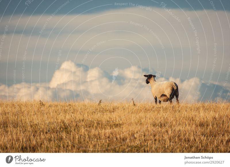 Schaf auf einer Weide mit Ausblick Himmel Natur Wolken Tier Ferne natürlich Wiese Freiheit Feld Aussicht ästhetisch Landwirtschaft Bauernhof Fell Säugetier