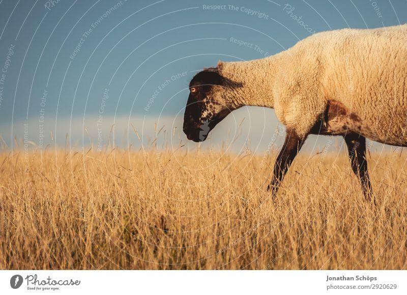 Schaf auf einer Weide Landwirtschaft Tier Feld Nutztier 1 ästhetisch England Großbritannien Sussex Fressen Wiese Seite Nahrungssuche Bauernhof Fleisch Natur