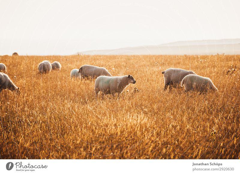 Schafherde auf dem Feld Landwirtschaft Tier Nutztier ästhetisch England Großbritannien Sussex Wiese Weide Seite Nahrungssuche Bauernhof Natur natürlich