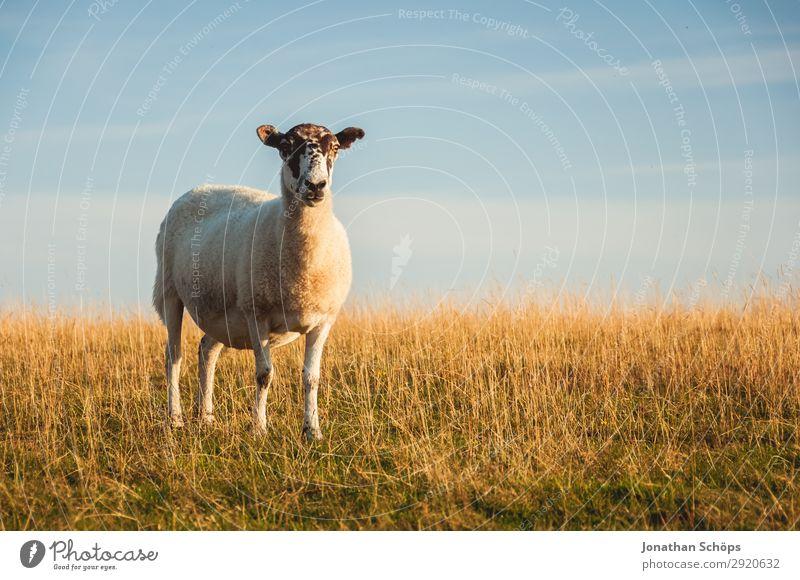 Schaf auf einer Weide Landwirtschaft Forstwirtschaft Tier Feld Küste Nutztier 1 ästhetisch England Großbritannien Sussex Fressen Wiese Seite Nahrungssuche