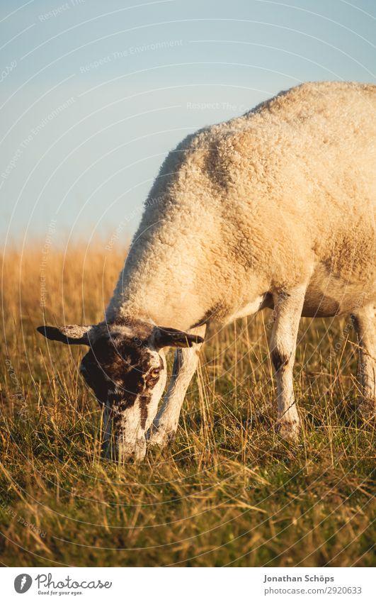 Schaf beim Fressen auf einer Wiese Natur Tier natürlich Küste Feld ästhetisch Landwirtschaft Bauernhof Weide Fell Säugetier Fleisch Seite