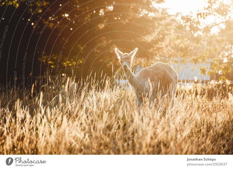 Lama im Feld in der Abendsonne Natur Landschaft Schönes Wetter Tier Nutztier 1 frei England Großbritannien Wildnis braun Gegenlicht Idylle ruhig friedlich
