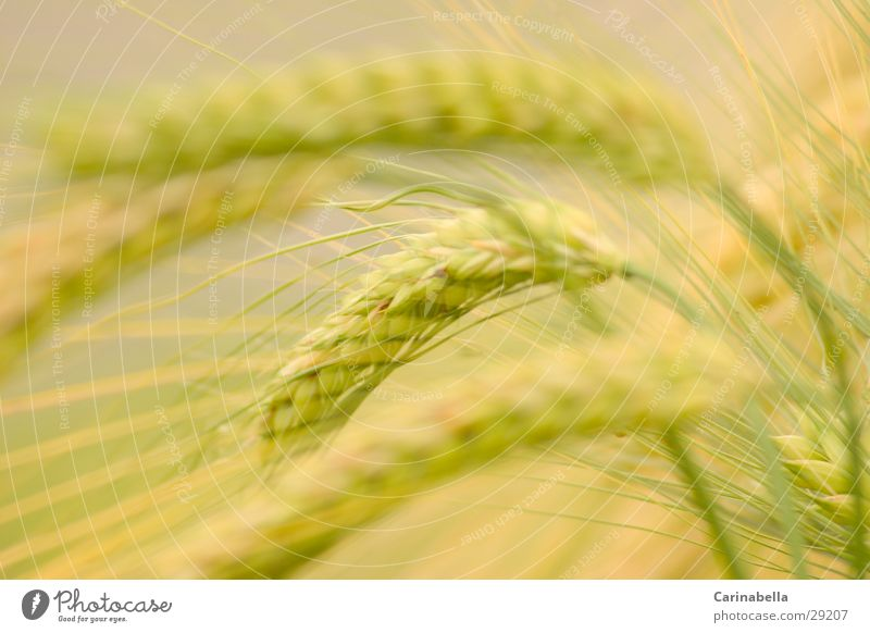 Gerste I Ähren Pflanze Feld Getreide