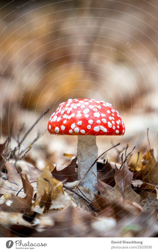 Fliegenpilz Natur Landschaft Frühling Sommer Herbst Schönes Wetter Pflanze Wildpflanze Garten Park Wiese Wald Urwald braun gelb rot weiß Hochformat Gift Pilz