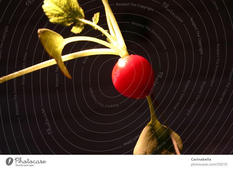 Radieschen II rot Blatt Gemüse Wurzel Knolle