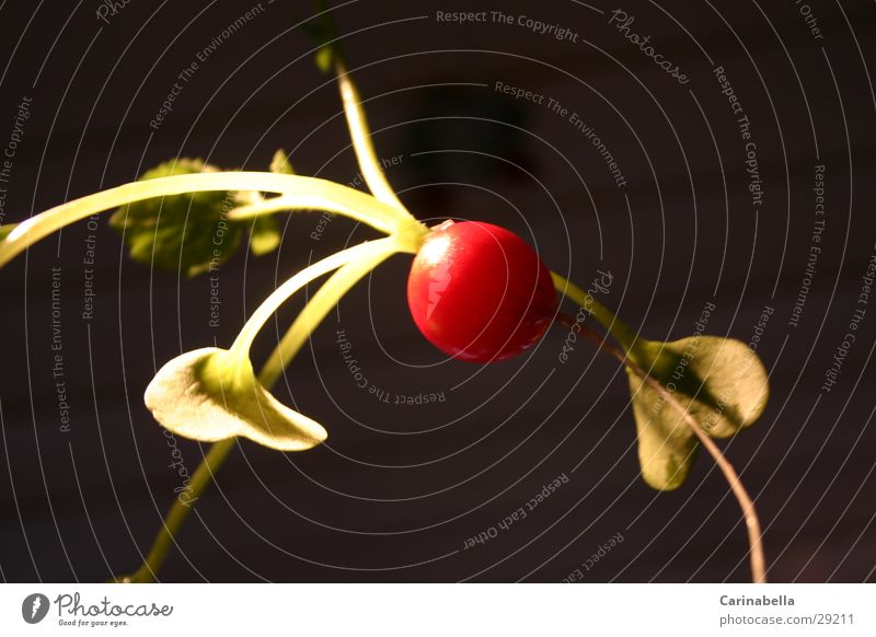 Radieschen I Knolle rot Gemüse Wurzel Blätter