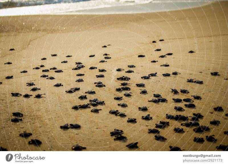 Kleine Meeresschildkröten kämpfen nach dem Schlupf in Mexiko ums Überleben. Strand Baby Natur Tier Sand klein wild chaotisch Tiere Tiere Reptilien baja
