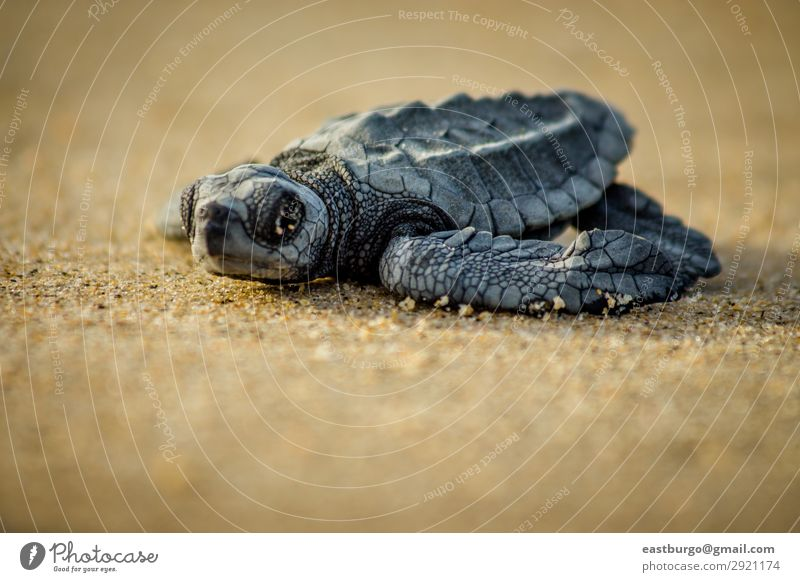 Eine Baby-Seeschildkröte kämpft nach dem Schlüpfen ums Überleben. Strand Meer Natur Tier Sand klein wild Tiere Tiere Reptilien baja baja halbinsel cabo pulmo