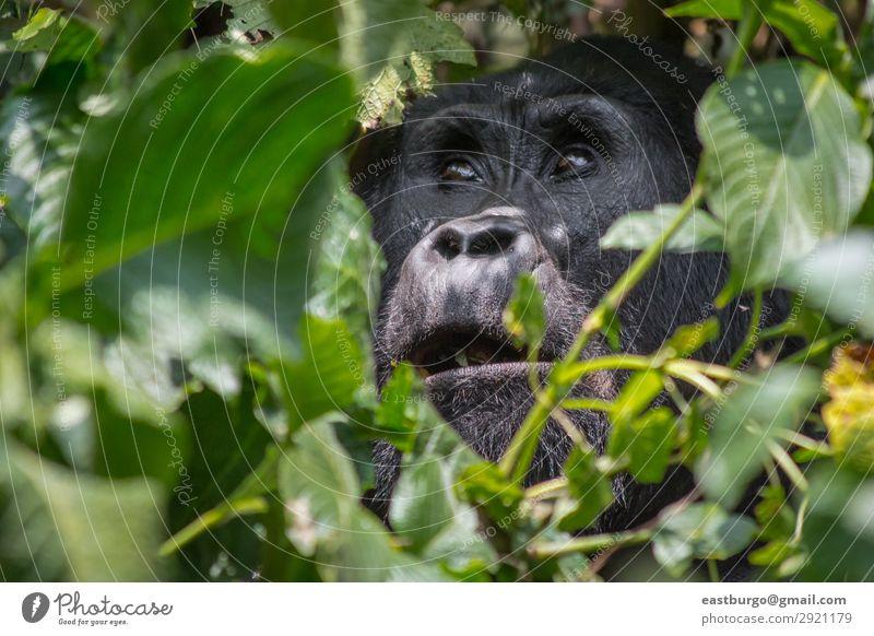 Ein engelsgleicher Gorilla im undurchdringlichen Wald von Uganda. Ferien & Urlaub & Reisen Tourismus Safari Berge u. Gebirge Natur Pflanze Tier Park Urwald