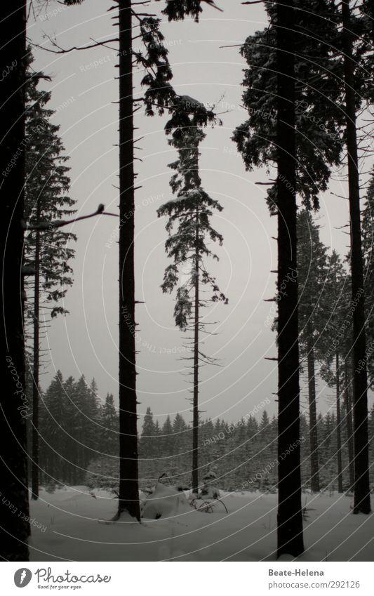 Immer aufrecht - auch in trüben Zeiten! Winter Schnee Natur Wolken schlechtes Wetter Eis Frost Baum Wald stehen Wachstum dunkel schwarz weiß Traurigkeit