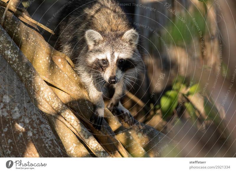 Junger molliger Waschbär Procyon lotorische Jagd auf Nahrung Natur Tier Baum Wildtier Tiergesicht 1 niedlich grau schwarz Nordwaschbär schwarze Maske wach