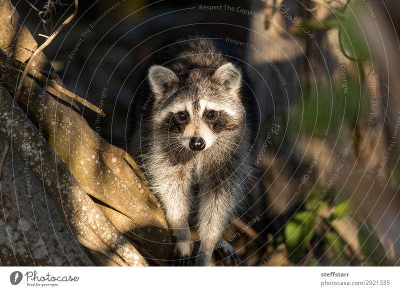 Junger molliger Waschbär Procyon lotorische Jagd auf Nahrung Natur Tier Baum Wildtier Tiergesicht 1 krabbeln niedlich grau schwarz Nordwaschbär schwarze Maske
