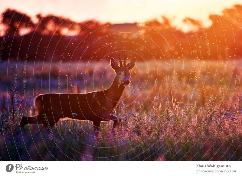 Vorsichtig Sommer Umwelt Landschaft Schönes Wetter Gras Grünpflanze Wiese Feld rothaarig Reh Rehbock 1 Tier natürlich blau braun gelb gold Bock Horn Fell
