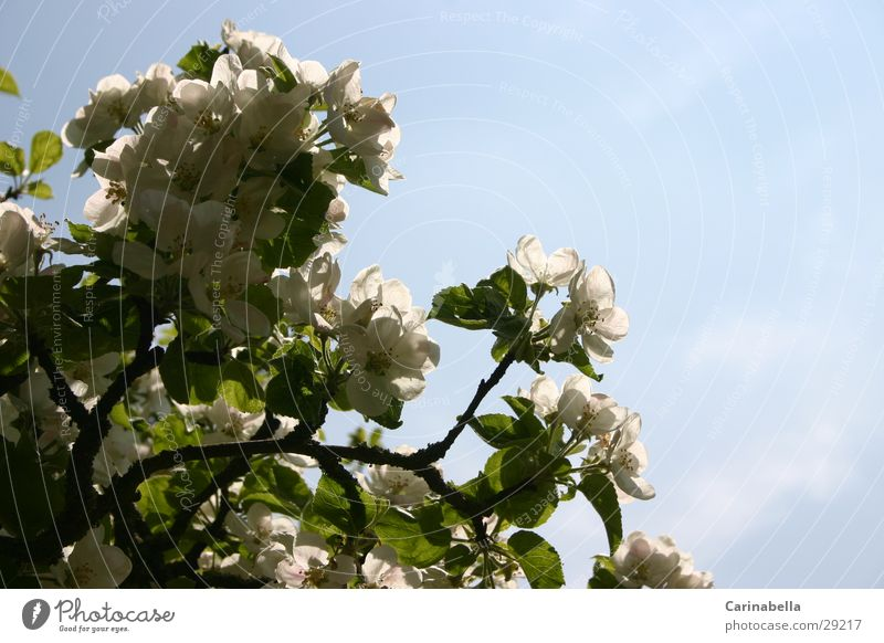 Apfelbaumblüten Baum Blatt Blüte Ast Baumkrone Apfelblüte