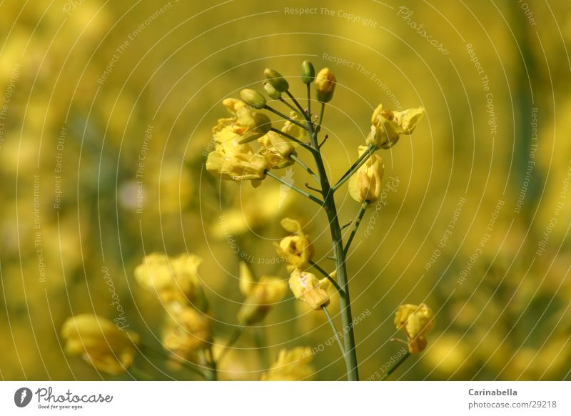 Raps Pflanze Blüte Rapsblüte Rapsfeld gelb Blühend