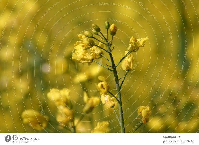 Raps Pflanze gelb Blüte Blühend Rapsfeld Rapsblüte